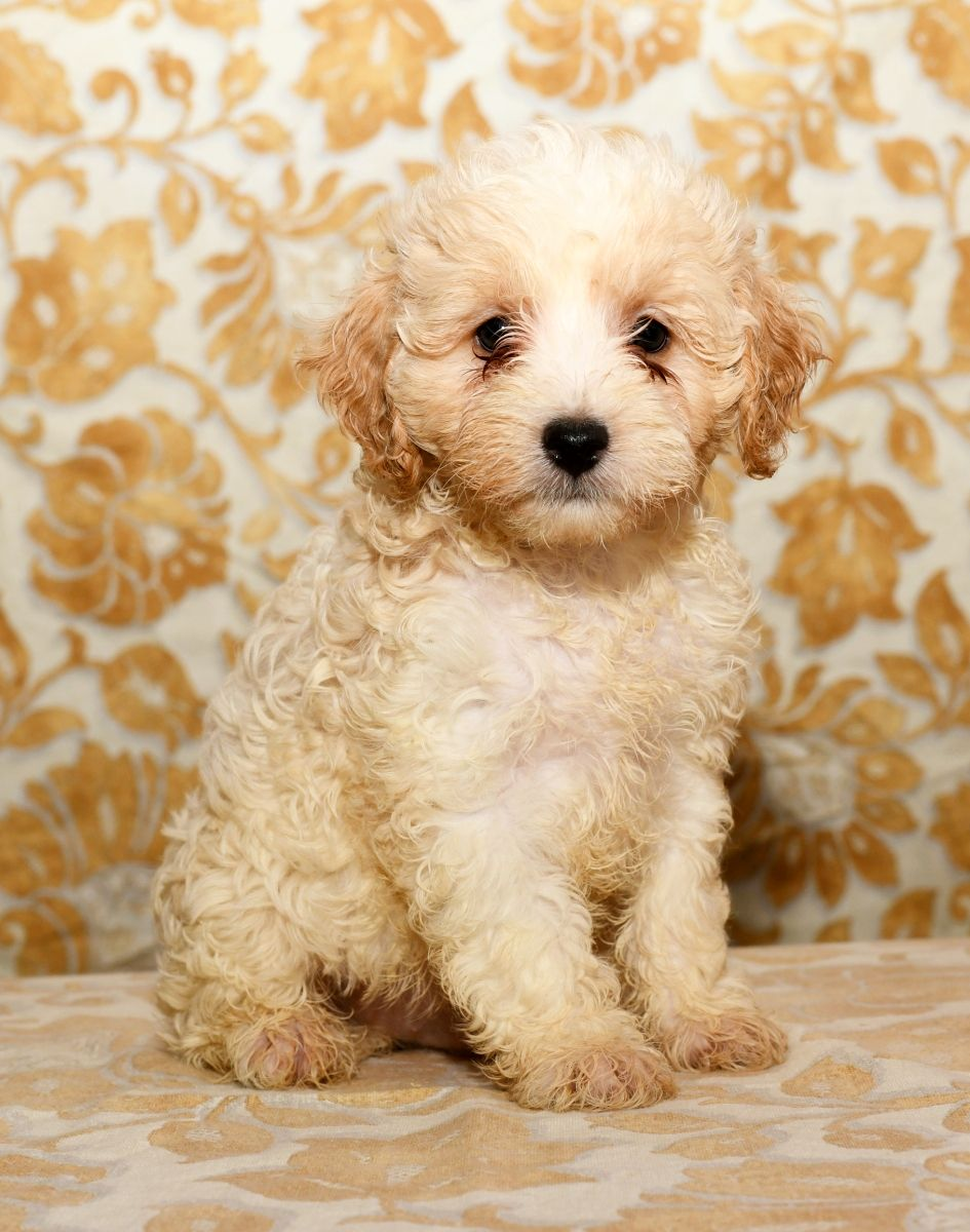 Adorable cavapoo cavapoo puppies lancaster puppies