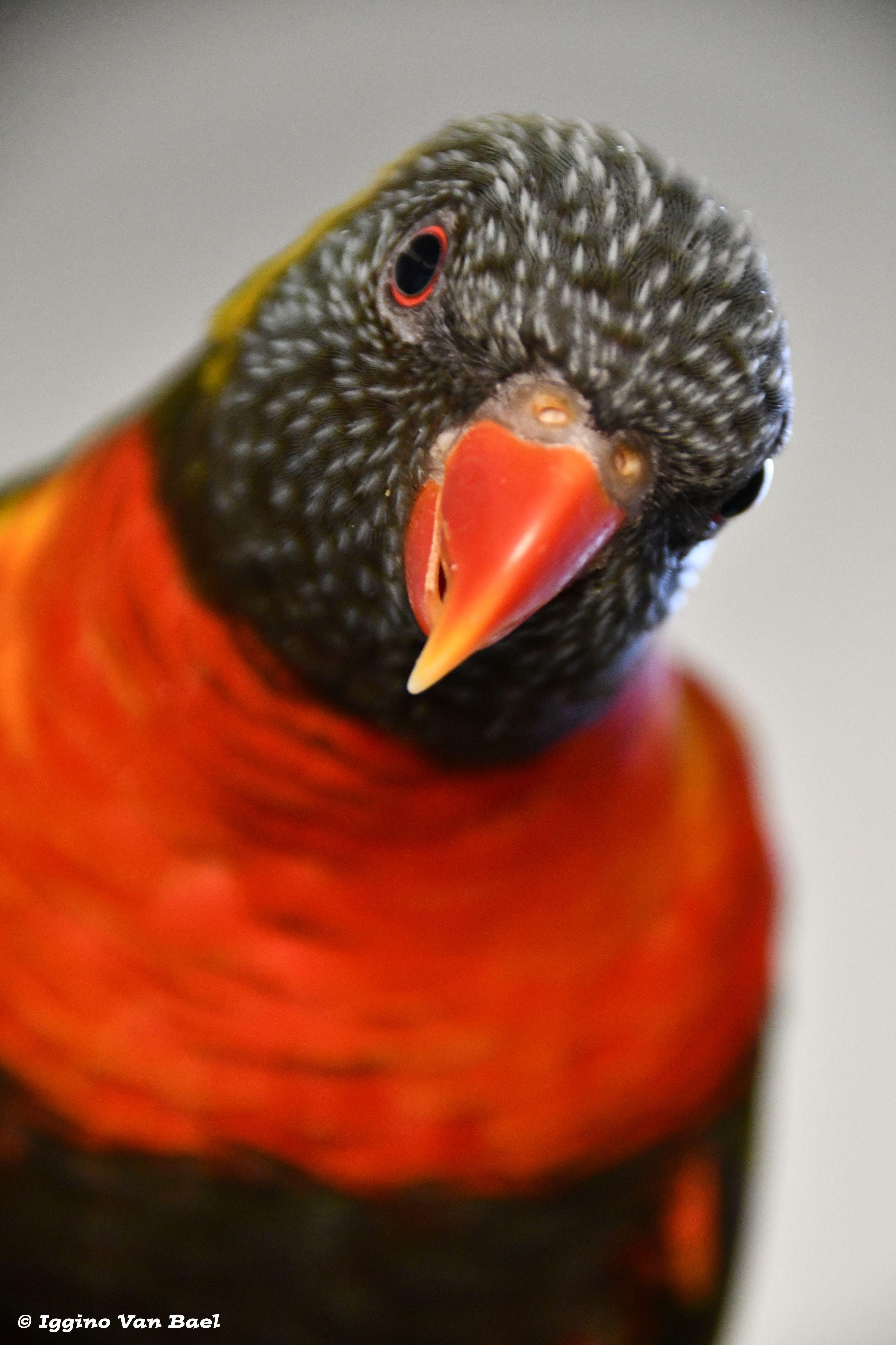 Iggino Van Bael Colorful Parrots Pet Birds Funny Birds