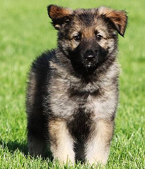 Shiloh Shepherd Dog Breed Information Pictures Shiloh Shepherd