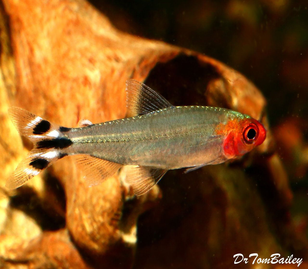 Premium Tank Raised Rummy Nose Tetra 1 To 1 2 Long Tank Raised Fresh Water Fish Tank Aquarium Fish Tropical Fish