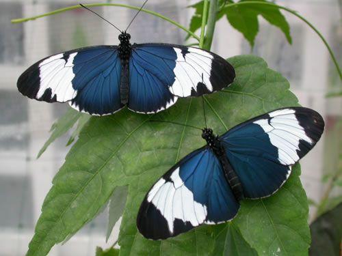 Duo de papillon
