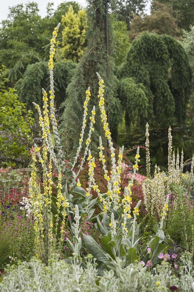 Silvery Verbascum bombyciferum 'Polarsommer', and Brachyglottis greyi front Cupressus arizonica var. glabra 'Fastigiata' and Pseudotsuga menziesii Pendula Group. Photo: Mark Turner