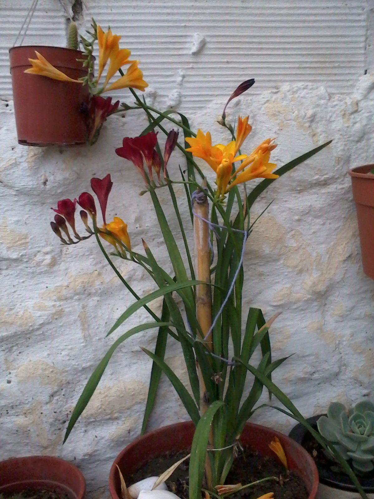 Fresias de mo jardin