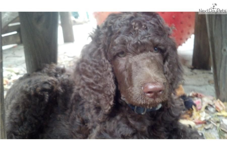 Poodle Standard For Sale For 900 Near West Palm Beach Florida