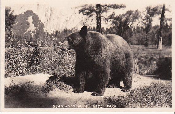 Big Brown Bear Yosemite National Park Black By Treasures2cherish California Art Yosemite Bears Yosemite National Park