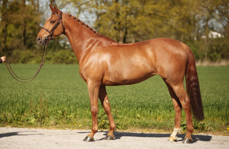 Calira, Mare - German Horse Center