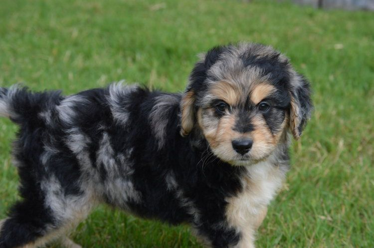 Crockett Doodles Family Raised Doodle Puppies For Sale Puppies
