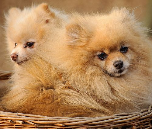 Pomeranians Pomeranian Dog Breeds Pomeranian Puppy