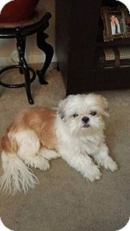 Pictures Of Teddy A Shih Tzu For Adoption In Bridgeton Mo Who