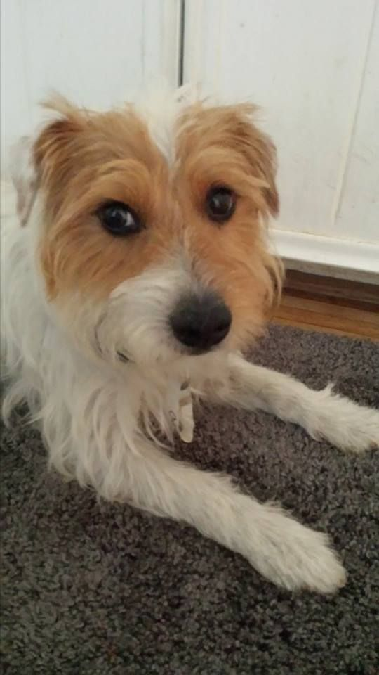 Adopt Bentley On Dogs 4 Adoption Scruffy Dogs Dogs Terrier Dogs