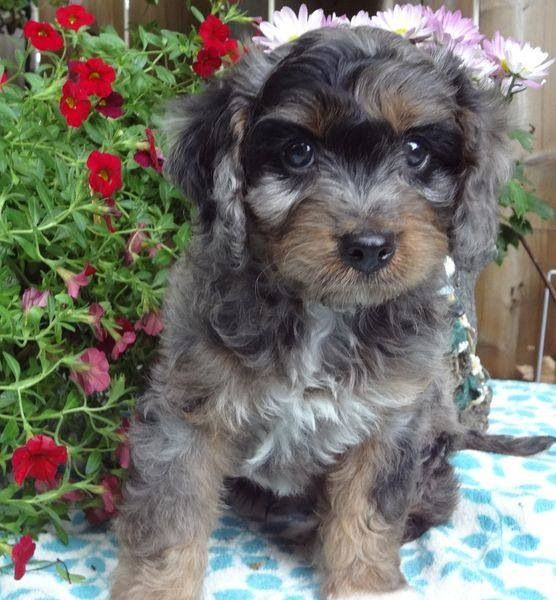Our New Cavapoo Or Cavoodle Puppy Archer Puppies Cavapoo