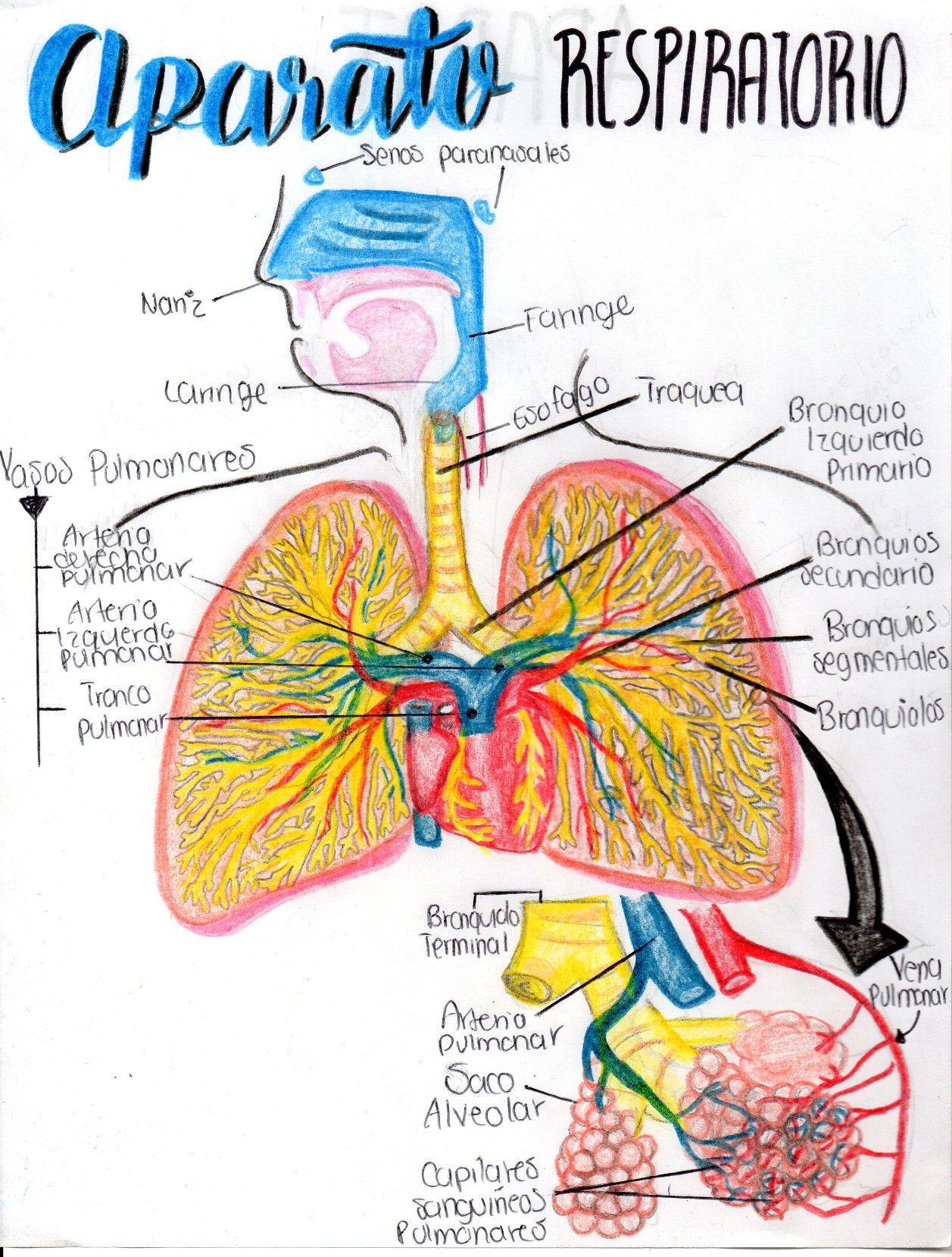 Aparato Cardio Respiratorio Fisio