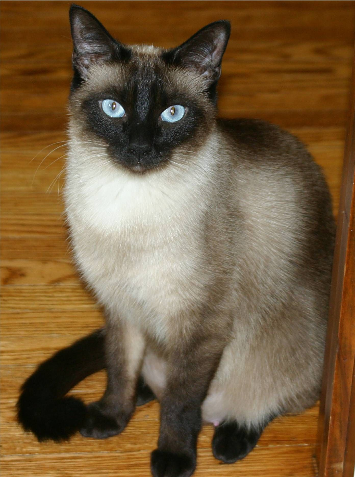 Cat Postcard Seal Point Blue Eyes Kitten Yarn Striped Background Vtg Mid Century Kittens Vintage Striped Background Kitten