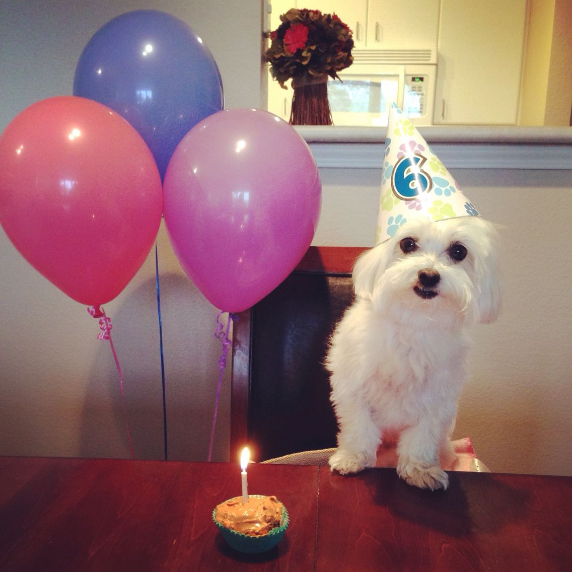 I M Six Today Now Blow Out That Scary Candle So I Can Eat My Cupcake Scary Candles Teacup Puppies Maltese Maltese Puppy