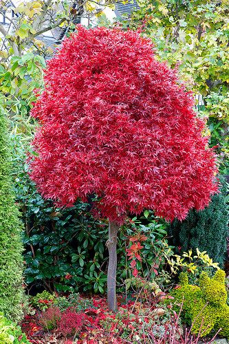 Acer Palmatum Skeeters Broom In Autumn Gardening Acer