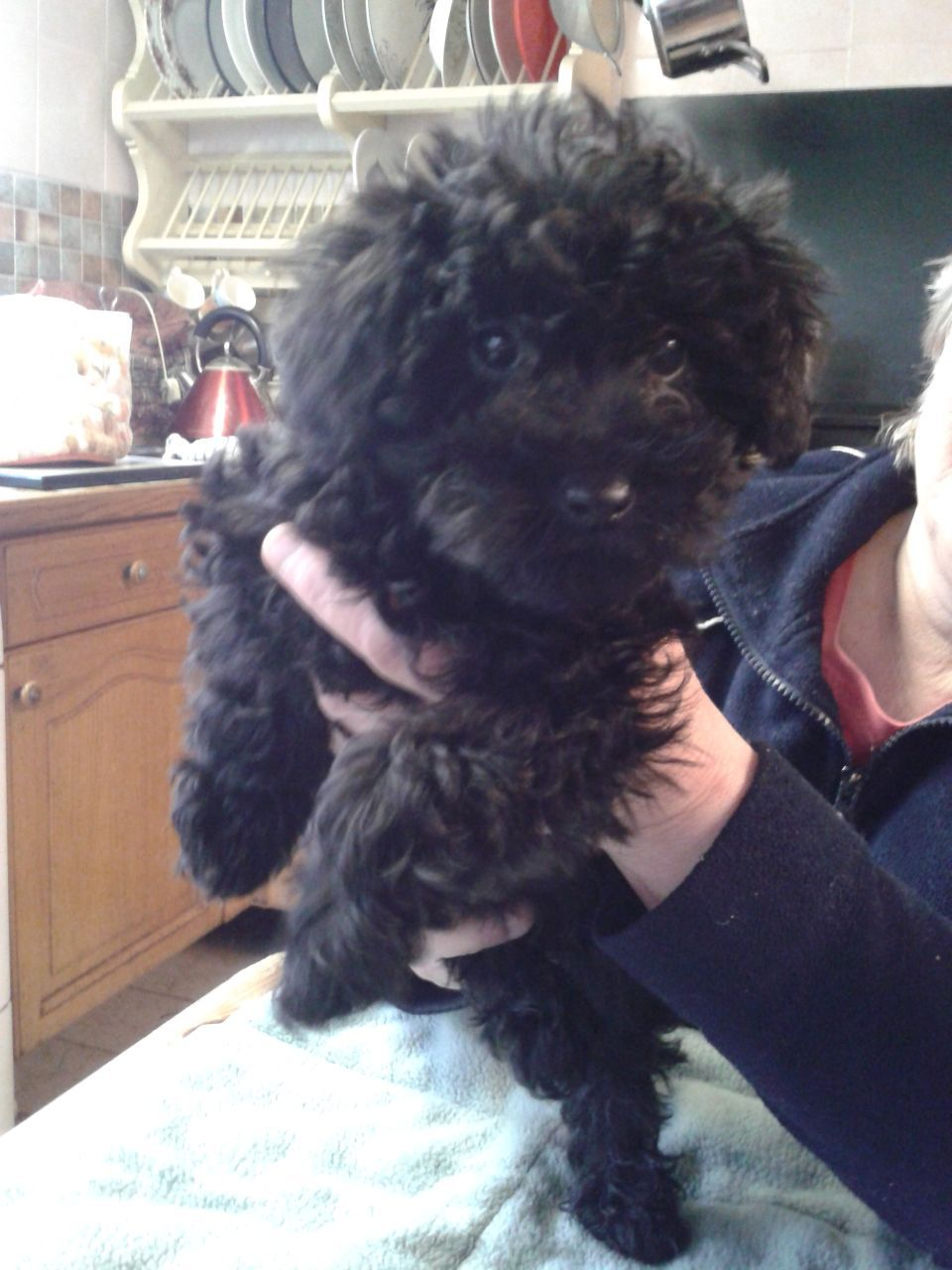 I want a black schnoodle puppy now google search
