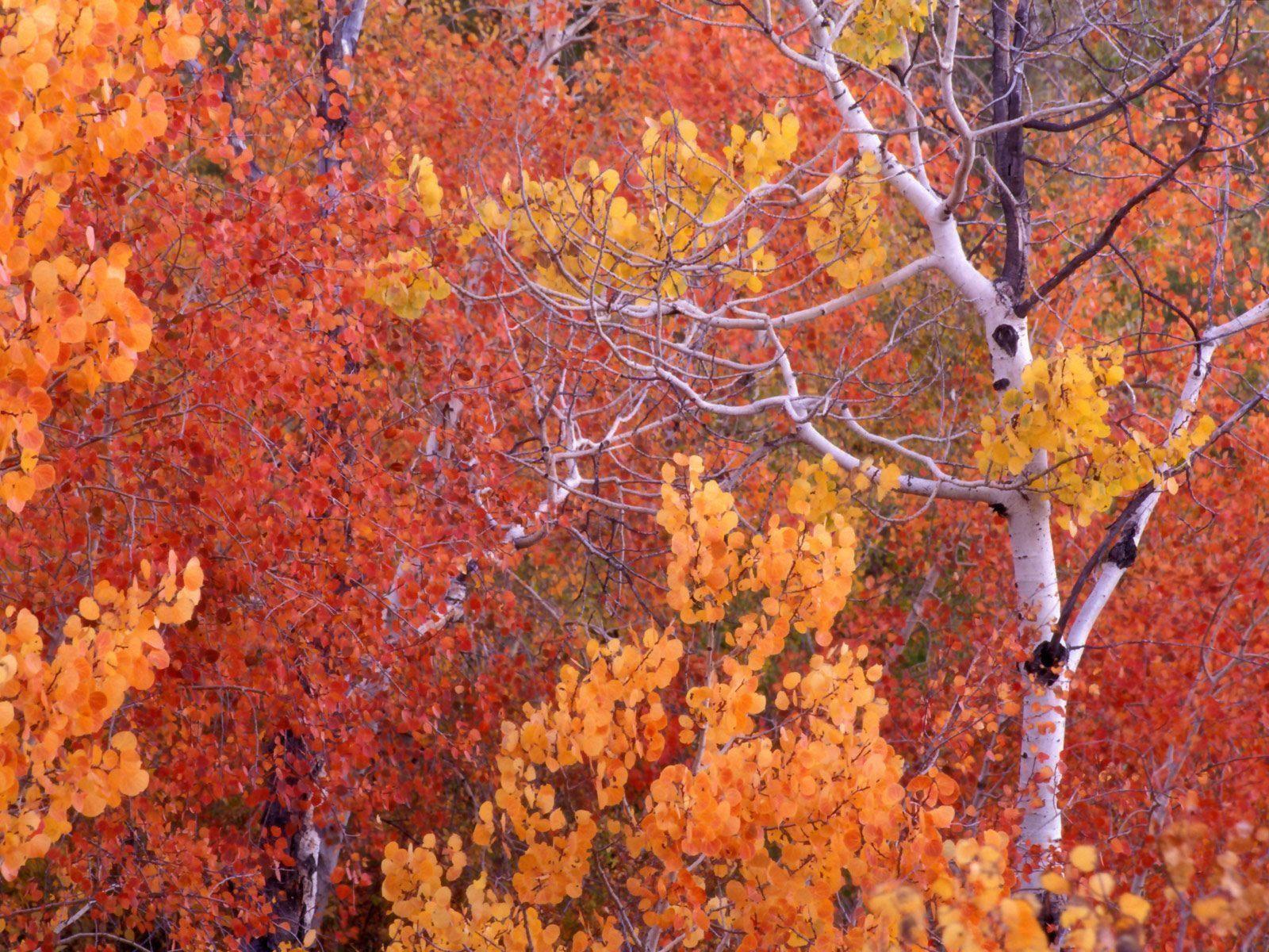 Aspen Trees Autumn Leaves Free Wallpaper In Free Desktop