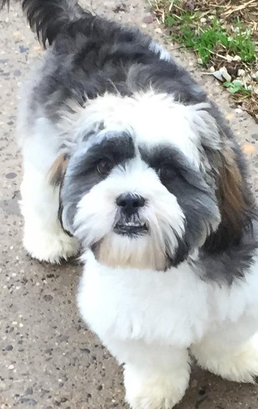 Adopt Mason On Lhasa Apso Shih Tzu Rescue Dogs