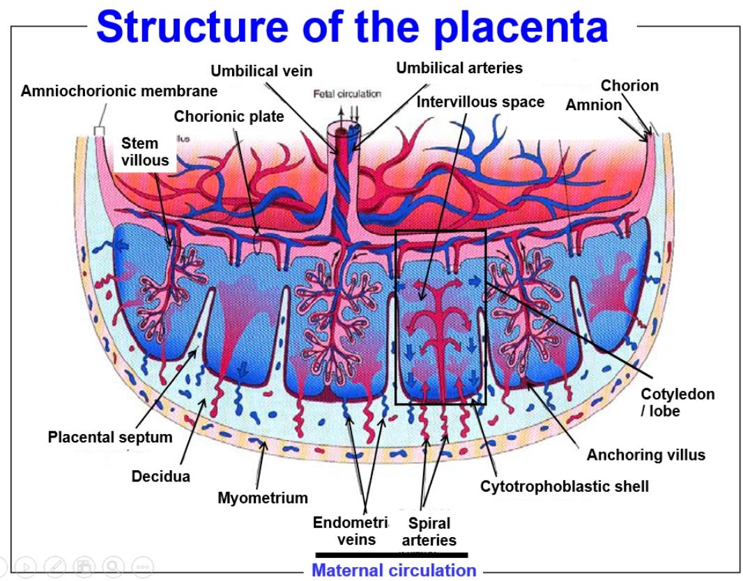 Placenta structure | Uni | Pinterest