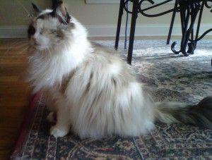 I Found Francesca Adoption Pending On Pet Finder Curious Cat Animal Shelter