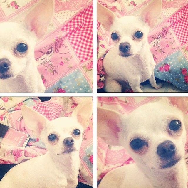 Chihuahua Baby Puppy Love Zuri Girl Face Cuddling Summer Viktoriasarina Spring Bed Home Pink Kinder