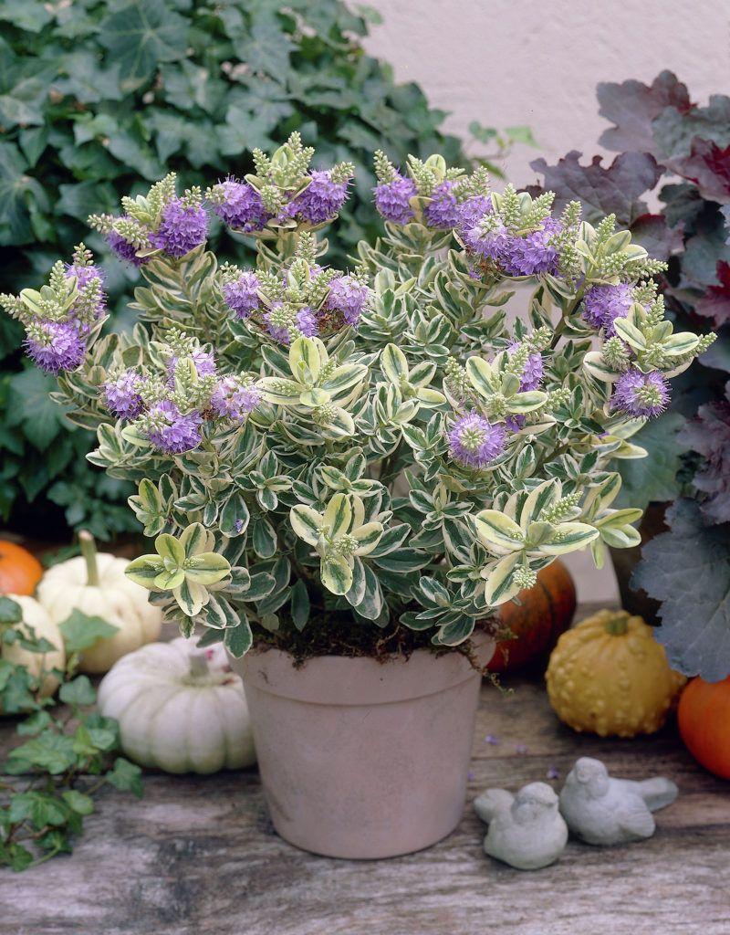 Hebe andersonii Variegata   Plants I like   Pinterest   Plants ...