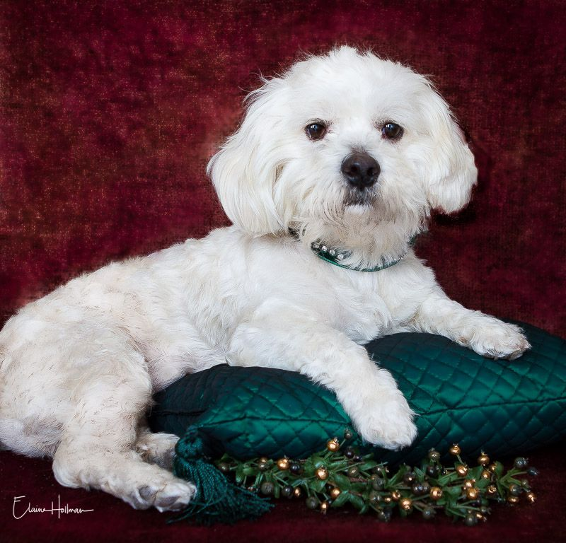 Maltese Dog For Adoption In Phelan Ca Adn 752346 On Puppyfinder Com Gender Female Age Dog Adoption Maltese Dogs Dogs