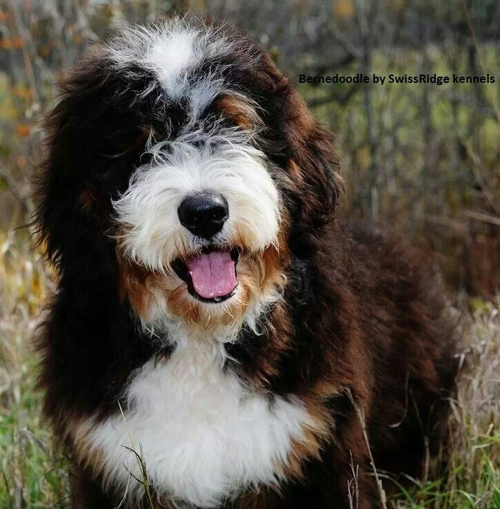 Pin By Christine Hodgson On I Want Bernedoodle Dogs Bernedoodle Puppy