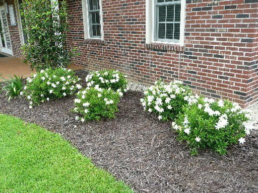 Frostproof Gardenia Is A Tough And Beautiful New Louisiana Super