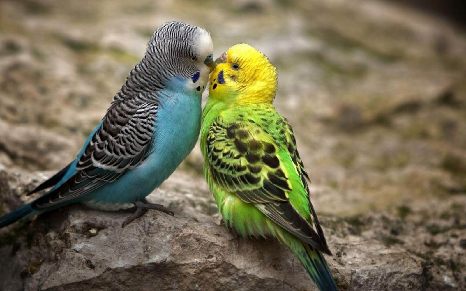 cute birds desktop wallpapers - cute birds hd wallpapers - hd
