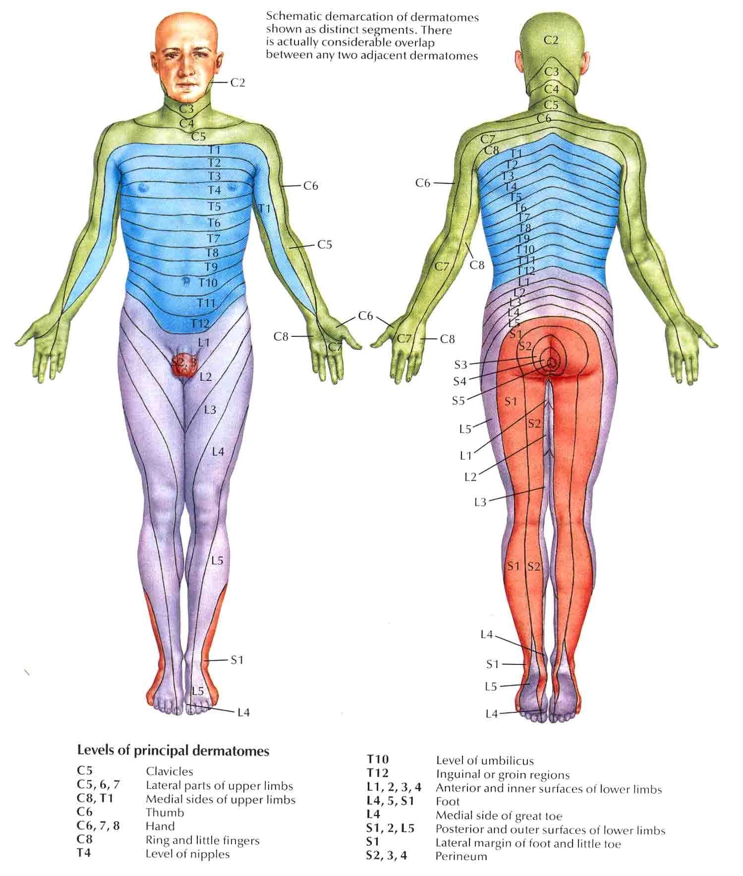 Pin de Diego Herrera en dermatomas | Pinterest | Fisiología ...