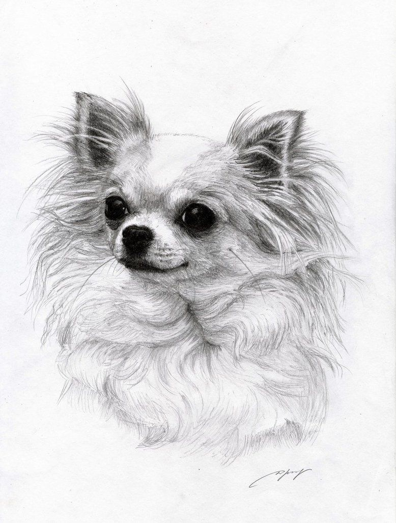 Chihuahua 3 By Danguole On Deviantart Dieren Tekenen Hond Tekeningen Chihuahua
