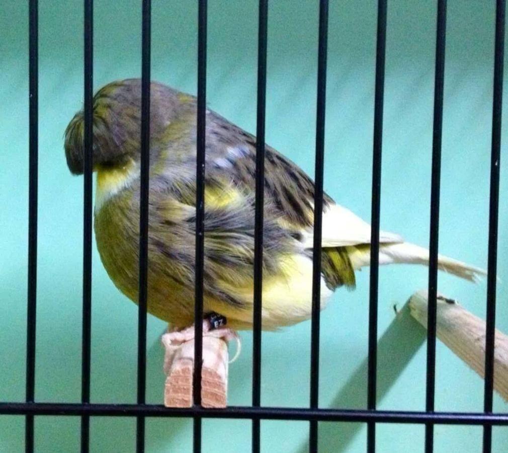 Beautiful Show Quality Canary Glosters Bicho De Estimacao Estimacao Animais