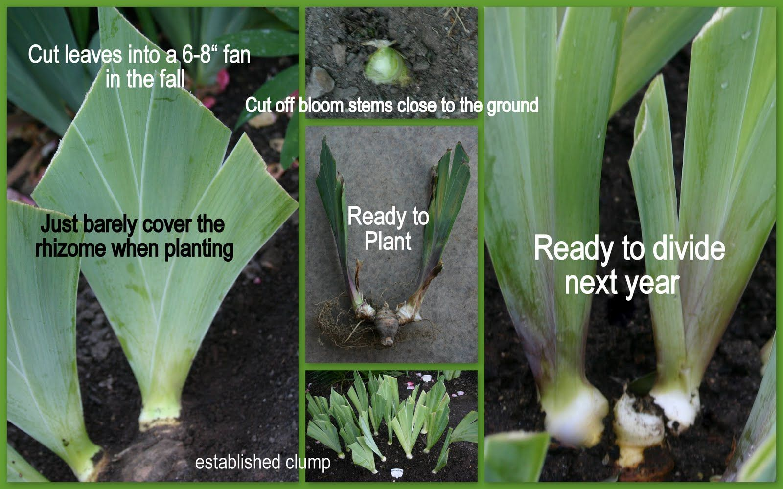The Time To Plant Or Divide Tall Bearded Iris Iris Flowers Garden Growing Irises Plants