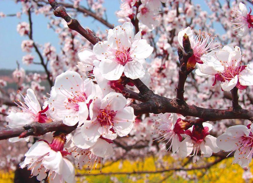 China S Apricot Blossom Will Take Your Breath Away 13 Pics Apricot Blossom Peach Blossom Tree Blossom Garden