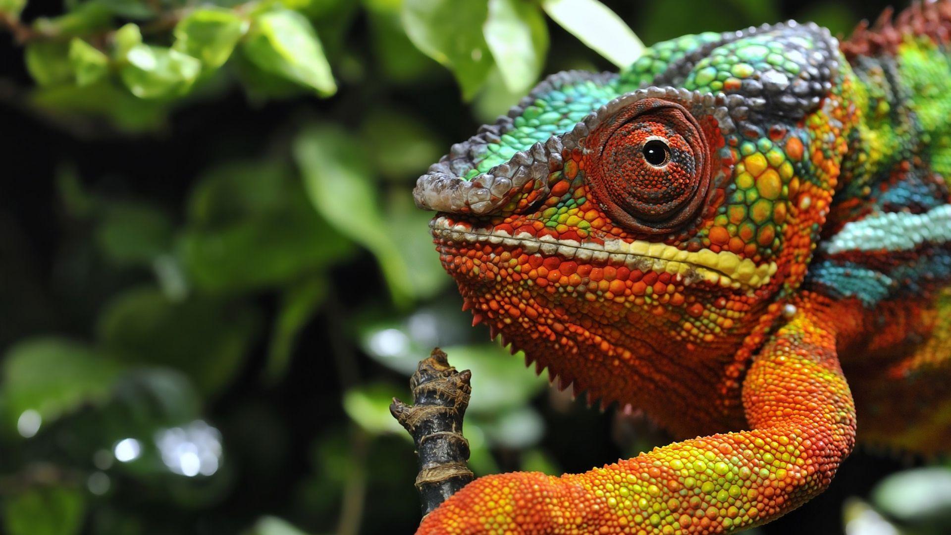 картинки хамелеона животное