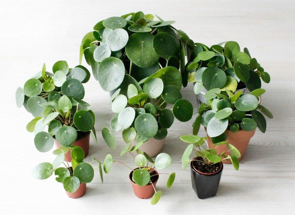 pilea peperomioides are irresistible charmers outdoor areas pinterest jardins plante. Black Bedroom Furniture Sets. Home Design Ideas