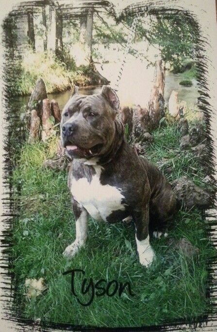 Blue Fire Kennels My American Bully Tyson Love My Pits Leave A