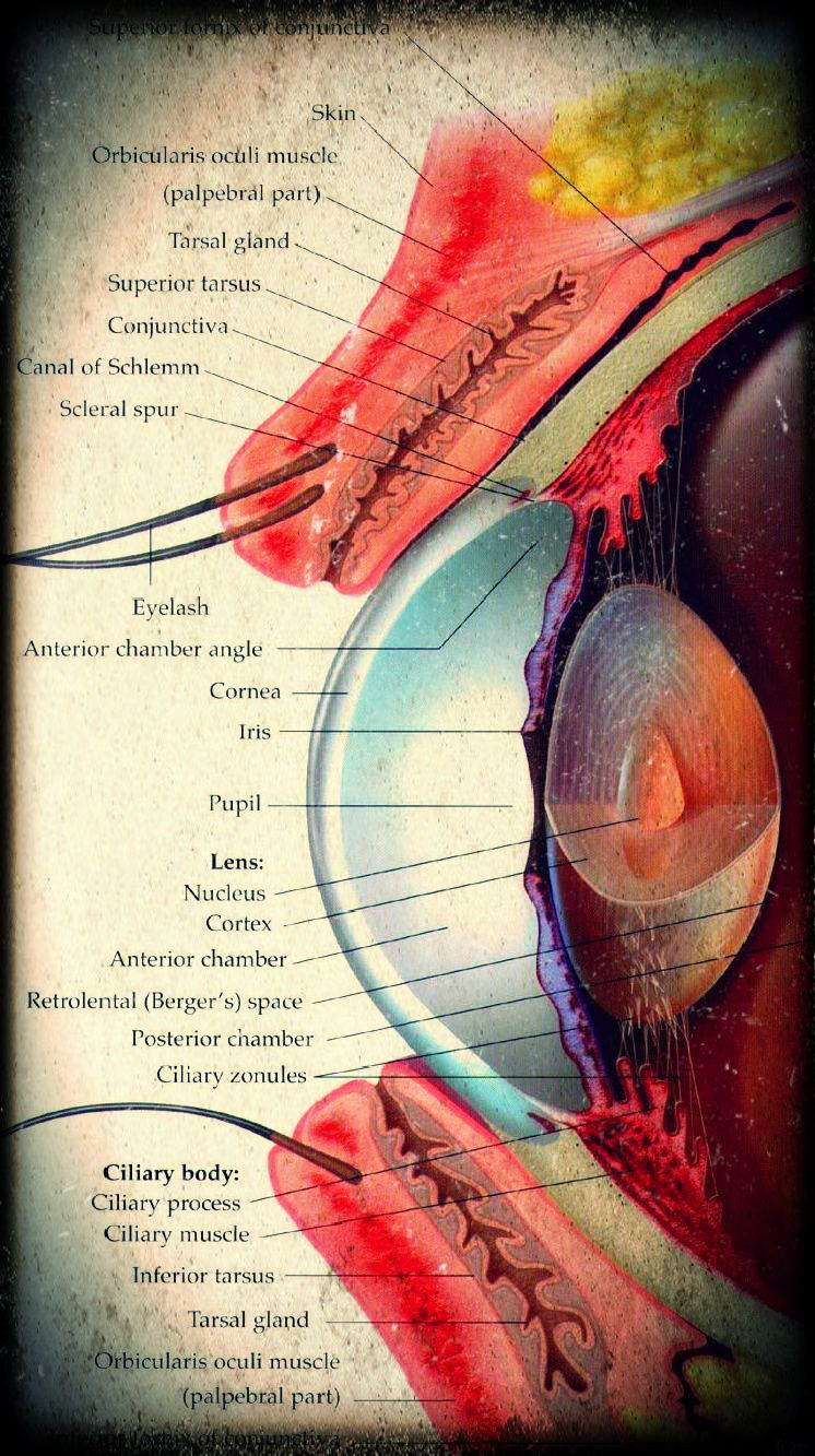 Eye Anatomy ... Part of my daily life now | Anatomy/Physiology ...