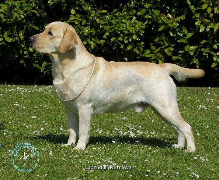 Yellow Lab 3 Labrador Retriever Dog Mixes Dogs
