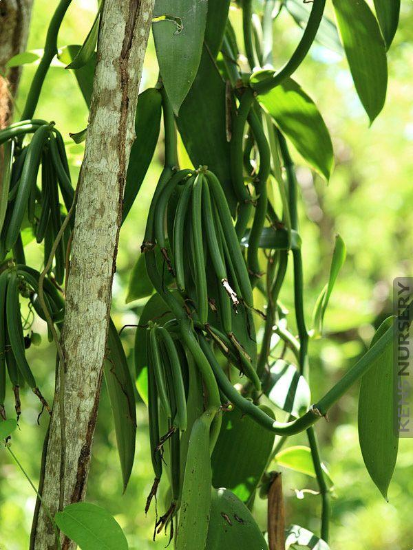 Real Vanilla Planifolia Orchid Orchids Vanilla Plant Growing