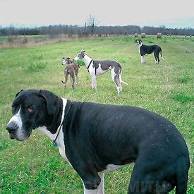 Orca Oreo The Mantle Great Dane Brothers With Zoonie Potato