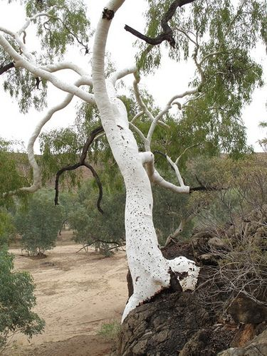Ross River Crossing Ghost Gum Eucalyptus Papuana Australian Trees Bonsai Tree Types Australian Native Garden