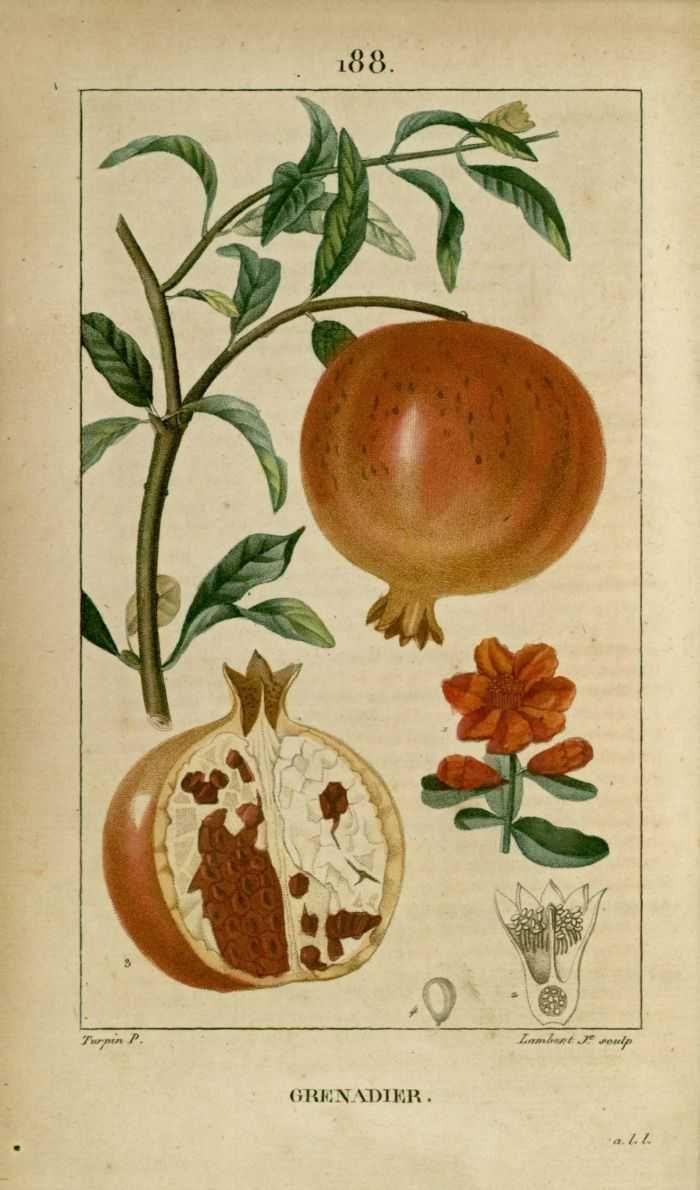 Pin by olia rettel on pomegranate illustration botanique dessins botaniques gravures de fleurs - Grenade fruit dessin ...