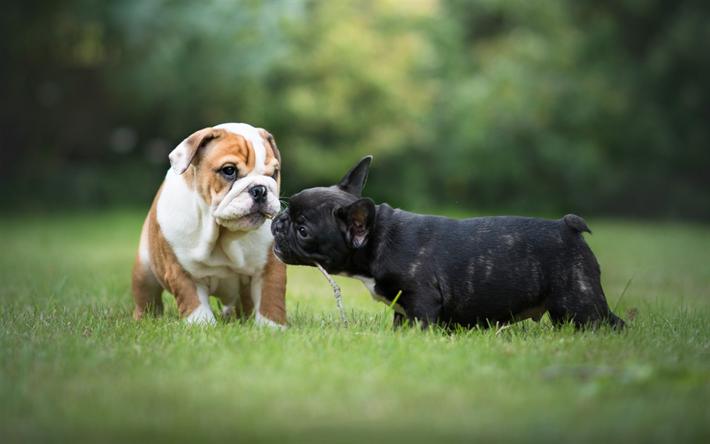 Hämta bilder Valpar, Fransk Bulldog, Engelsk Bulldog, hundar, söta djur, små hundar