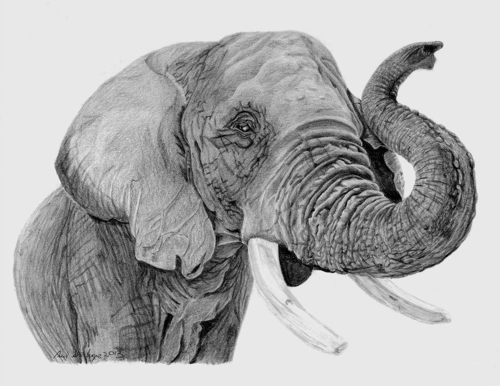 Deviantart more like african elephant pencil drawing by pls1960