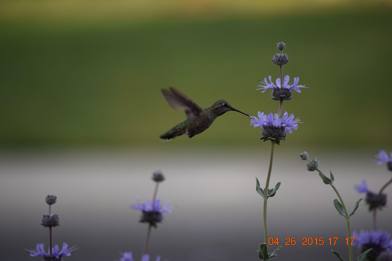 hummingbird on native sage, Fresno, CA