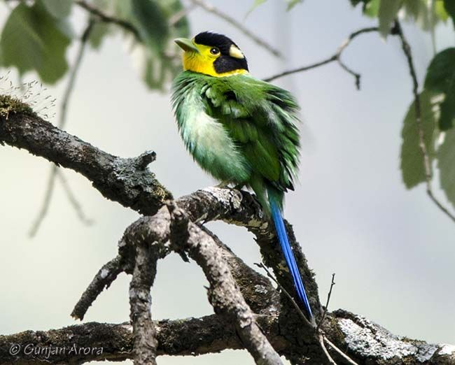 The Long-tailed Broadbill (Psarisomus dalhousiae) is a species of broadbill that is found in the Himalayas, Southeast Asia, and Indonesia. It is the only bird in the genus . It is about 25 cm (10 inches) in length and weighs between 50 and 60 grams. It can be identified by its shrill call.