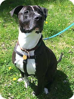 Pin By Brittany Stockman On Rescue Dogs Pitbull Terrier Dogs