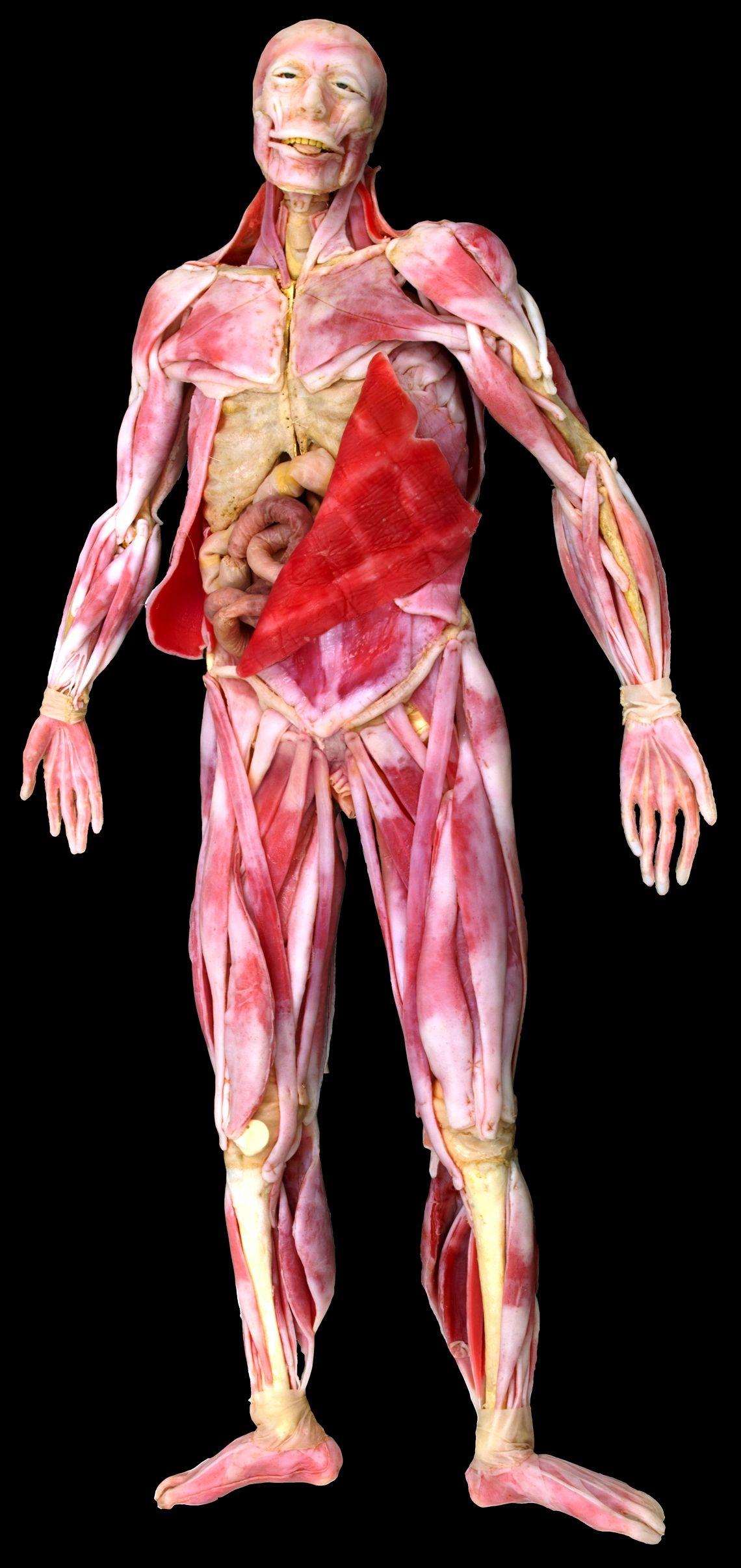 Muscular Full Body Model Includes All Of The Major Skeletal